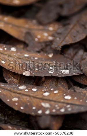 Brown leaves with water drops in autumn - stock photo