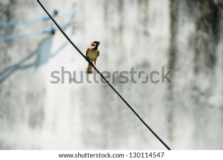 Brown little sparrow grap on black wire - stock photo