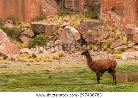 Brown Llama glama in the Black lagoon, Potosi, Bolivia. grass and  moss and red rocks. Cloudy sky background.  - stock photo