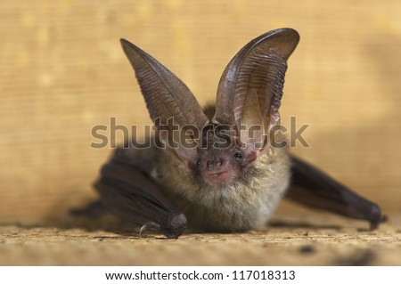 Brown Long-Eared Bat - stock photo