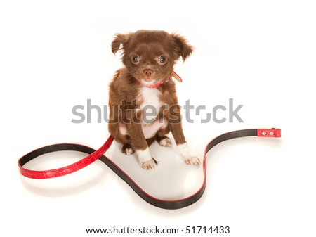 Brown longhaired Chihuahua puppy on a white background - stock photo