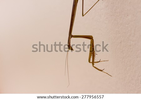 Brown mantis - stock photo