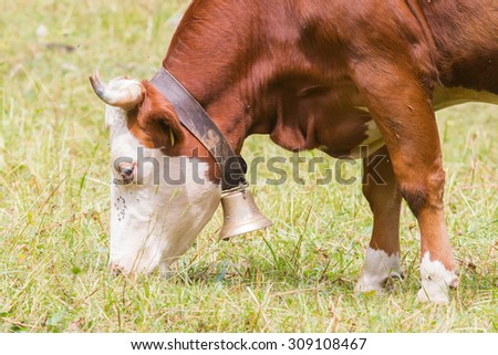 Brown milk cow in a meadow of grass, Alps, Switzerland - stock photo