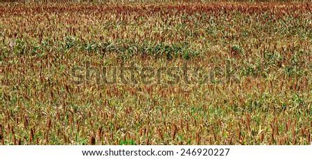 Brown Millet  millet or sorghum in farmland. - stock photo