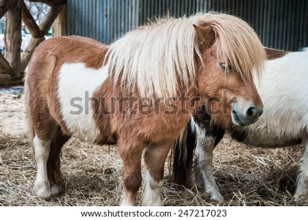 Brown miniature horse with long hair - stock photo