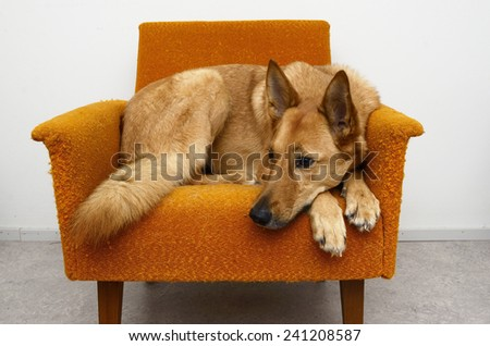 brown mongrel dog lying in the orange chair - stock photo