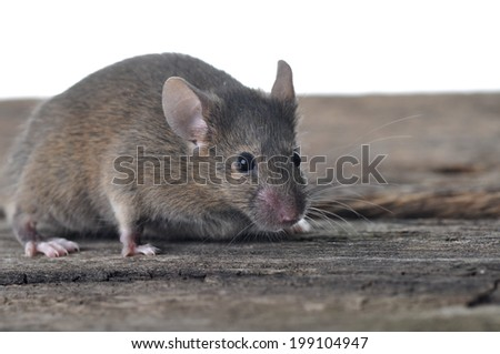 Brown mouse on wooden table isolated on white background - stock photo