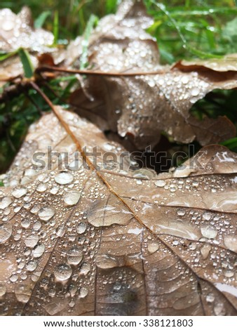 brown oak leaf with dew - stock photo