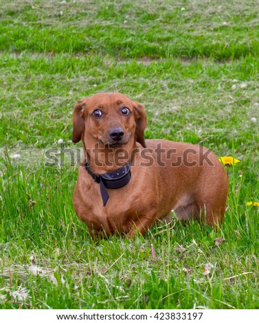 brown, outdoors, one, nature, white, beautiful, , grass,  funny, cute, color, black, breed, animals, dog, birch, attentive, walks,  pedigreed, green,  grass background, dachshund, electric collar - stock photo