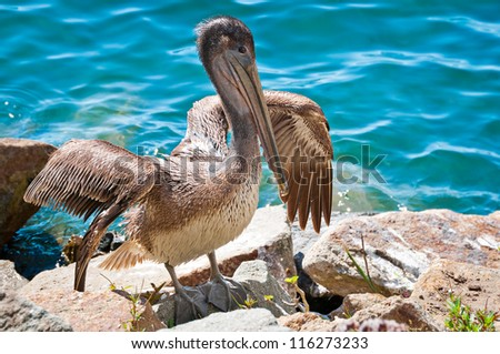 Brown pelican, California, USA - stock photo