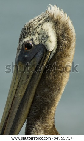Brown Pelican Close Up - stock photo