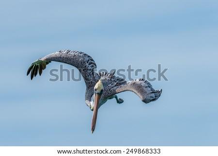Brown Pelican Diving/Fishing near Naples, Florida 3 - stock photo