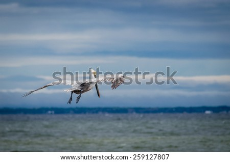 Brown pelican flying over Gulf of Mexico in Florida - stock photo