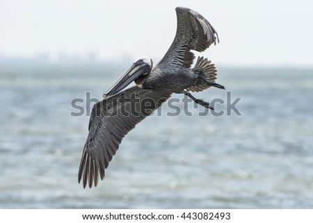 Brown Pelican Gliding over Beach at Sanibel Island, Florida - stock photo