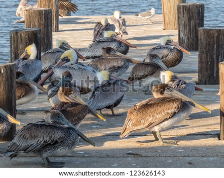 Brown Pelican Group on Pier - stock photo