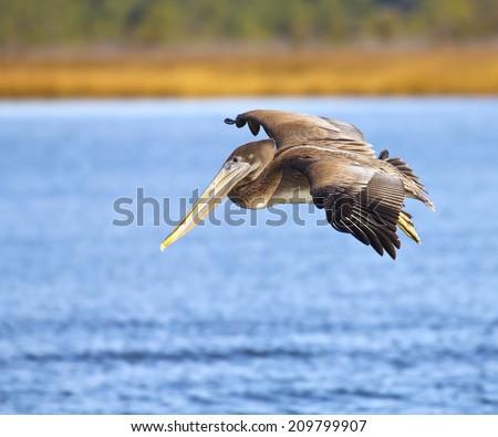 Brown pelican in flight over wetlands - stock photo
