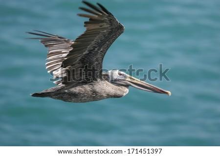 Brown pelican in flight (Pelecanus occidentalis) - stock photo