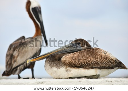 Brown pelican, Mexico - stock photo