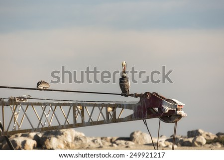 Brown Pelican on a dredge boom in late light - stock photo