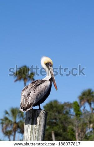 Brown Pelican on Florida's Gulf Coast - stock photo