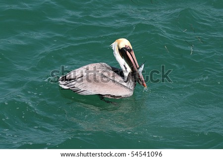 Brown Pelican (Pelecanus occidentalis) fishing in the Gulf of Mexico - stock photo