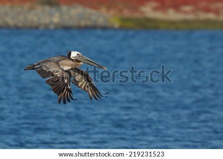 Brown Pelican, Pelecanus occidentalis, flying over bay - stock photo