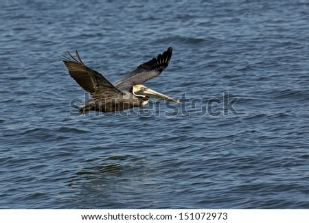 Brown Pelican (Pelicanus occidentalis) - stock photo