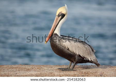 Brown Pelican Portrait - stock photo