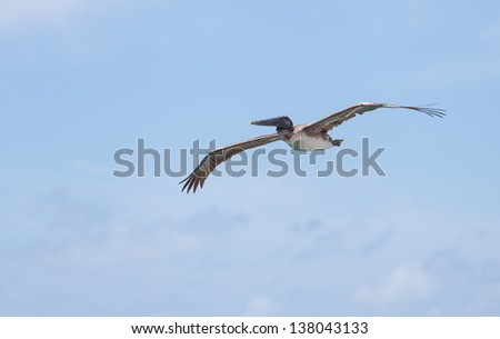 Brown Pelican soaring over Marathon Key in the Florida Keys - stock photo