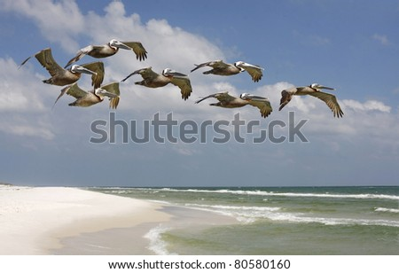 Brown Pelicans Flying over White Sand Beach - stock photo