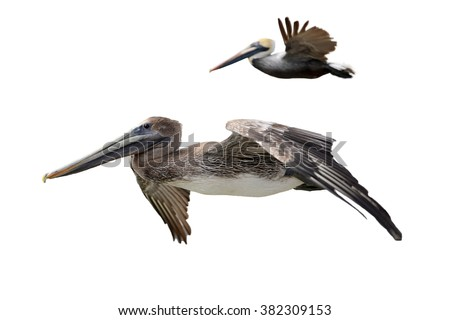 Brown Pelicans Isolated on White - stock photo