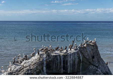 Brown Pelicans (Pelecanus occidentalis) perched on a rock with kelp and sea weed, on the rugged Big Sur coastline, near Cambria, CA. on the California Central Coast. - stock photo