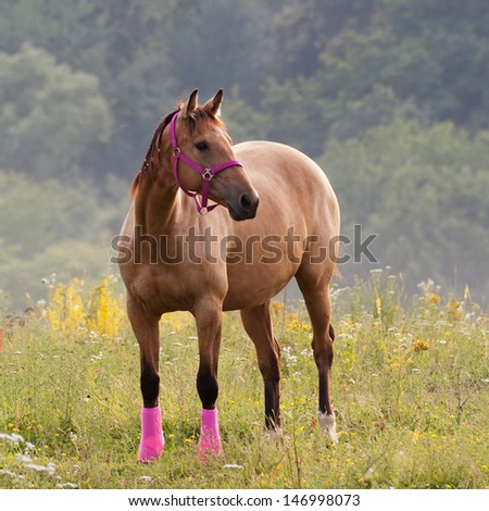 Brown quarter horse standing on meadow with pink harness - stock photo