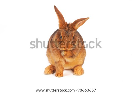 brown rabbit washon white background - stock photo
