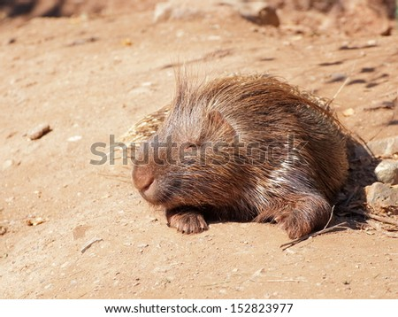 Brown resting porcupine lying on the ground - front view - stock photo