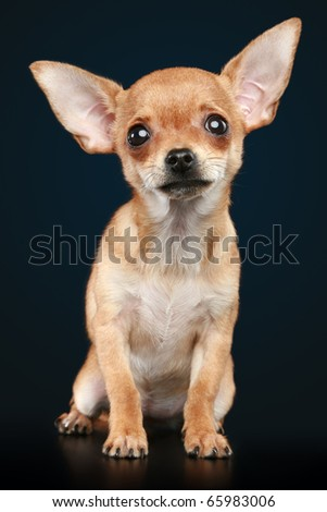 Brown scared chihuahua puppy on a dark background - stock photo