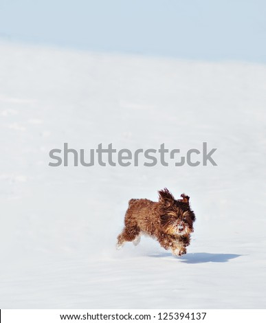 Brown Schnoodle (Schnauzer and Poodle Mix) puppy running in the snow. 7 month old. - stock photo