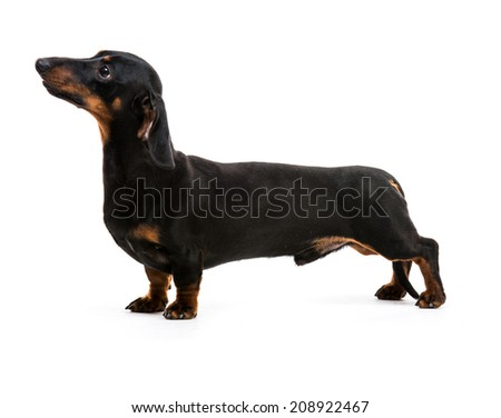 brown short hair puppy dachshund on white - stock photo