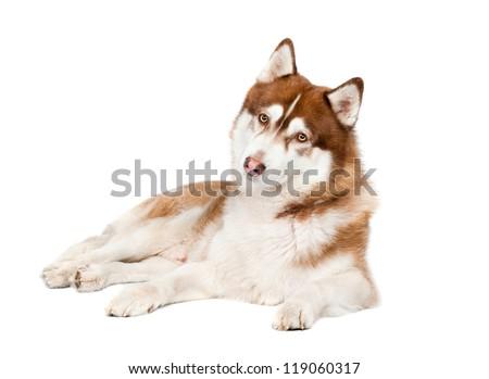 brown siberian husky dog curious look - stock photo