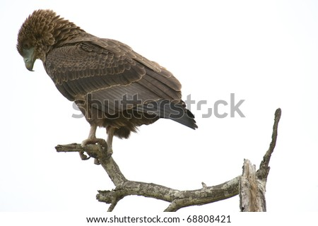 Brown Snake Eagle - stock photo