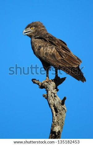 Brown Snake Eagle (Circaetus cinereus) - stock photo
