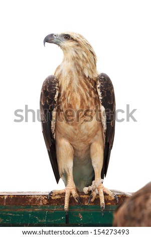 Brown snake eagle on white background - stock photo