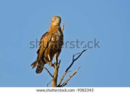 Brown snake-eagle perched on dead tree; circaetus cinereus; South Africa - stock photo
