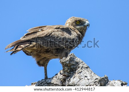 Brown snake-eagle perched on old branch, Kruger National Park - stock photo