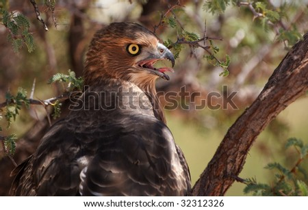Brown Snake Eagle Portrait - stock photo