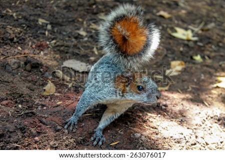 Brown Squirrel Running. - stock photo