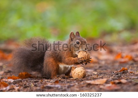 Brown squirrel with nuts - stock photo