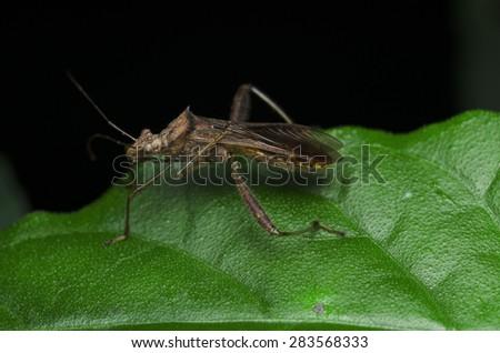 Brown Stinkbug  - stock photo