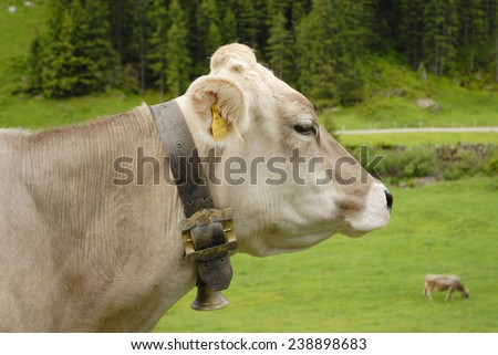 Brown Swiss cattle in the pasture.  - stock photo