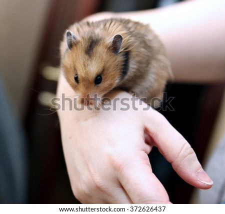 Brown Syrian hamster with filled cheeks in hands isolated on a white background - stock photo